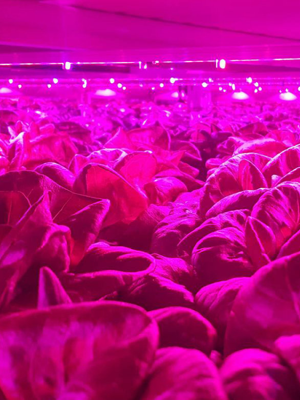 Osram Opto Semiconductors' Oslon LEDs support the efficient growth of fresh, local year-round produce for large scale food production