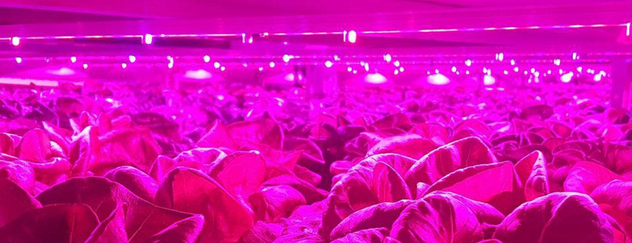Infinite Harvest's horticulture lighting fixtures in action. Image: Infinite Harvest
