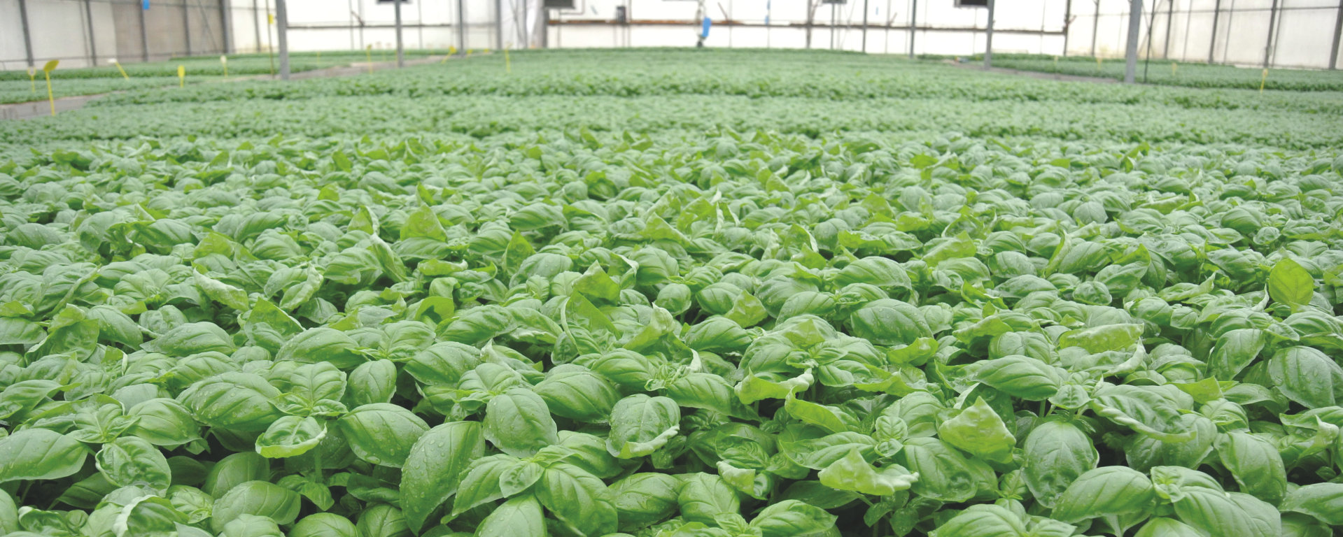 Ambra Elettronica´s: Italian Basil grows quicker and healthier by replacing HPS with Horticultural LED lighting using OSRAM's Oslon