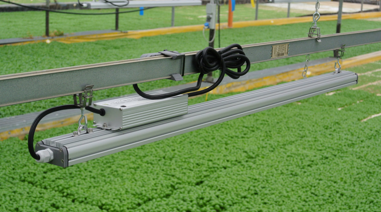 Italian Basil grows quicker and healthier by replacing HPS with Horticultural LED lighting using OSRAM's Oslon