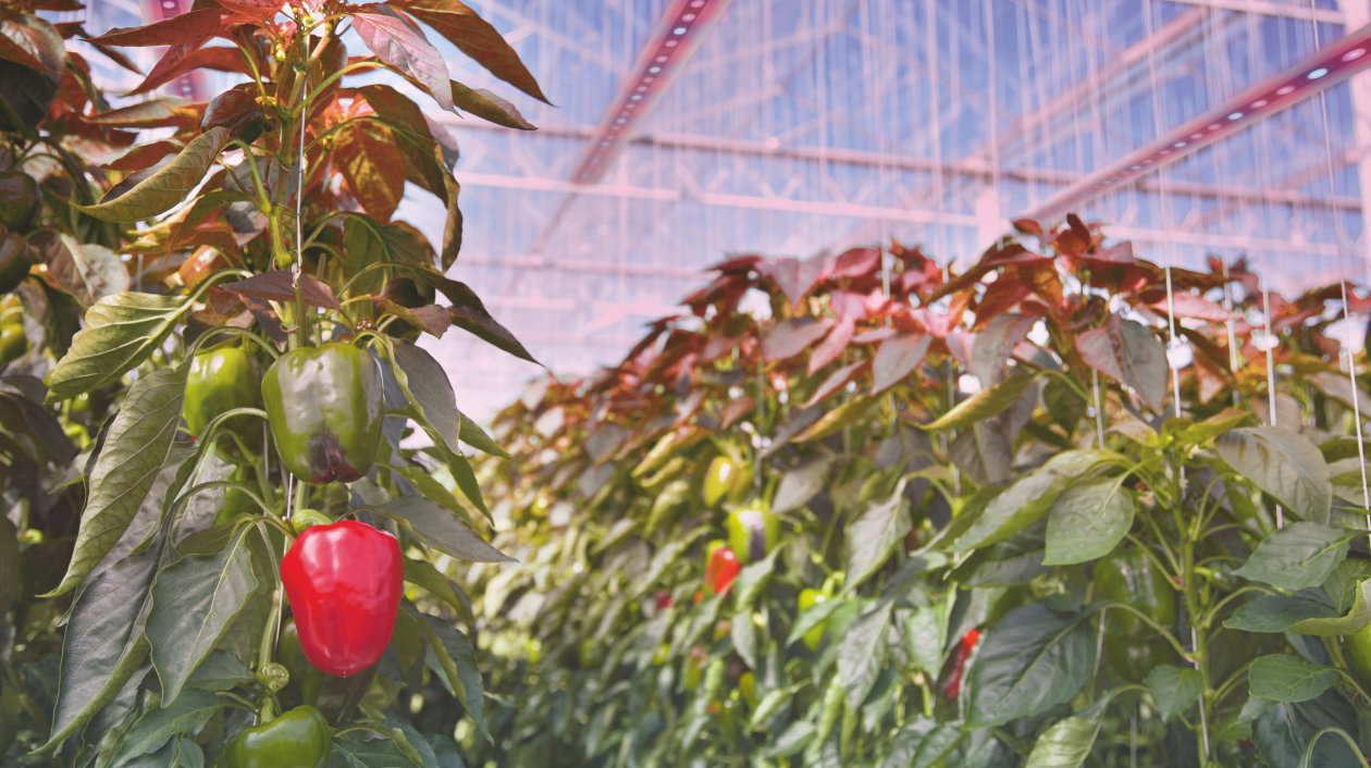 Application - Horticulture Lighting - Green plants with sweet pepper