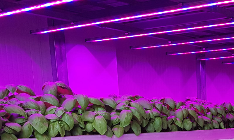 Vertical Farming with Horticultural LED lighting helps Italian Basil farmer to triple the yield per qm and shortens time to harvest