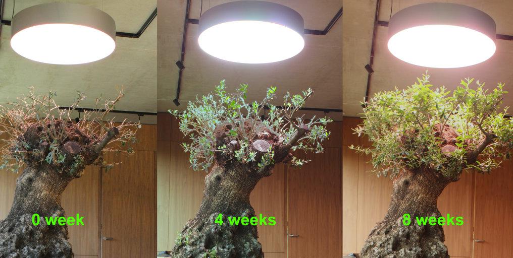 Olivetree dia 800 mm by CEZOS
