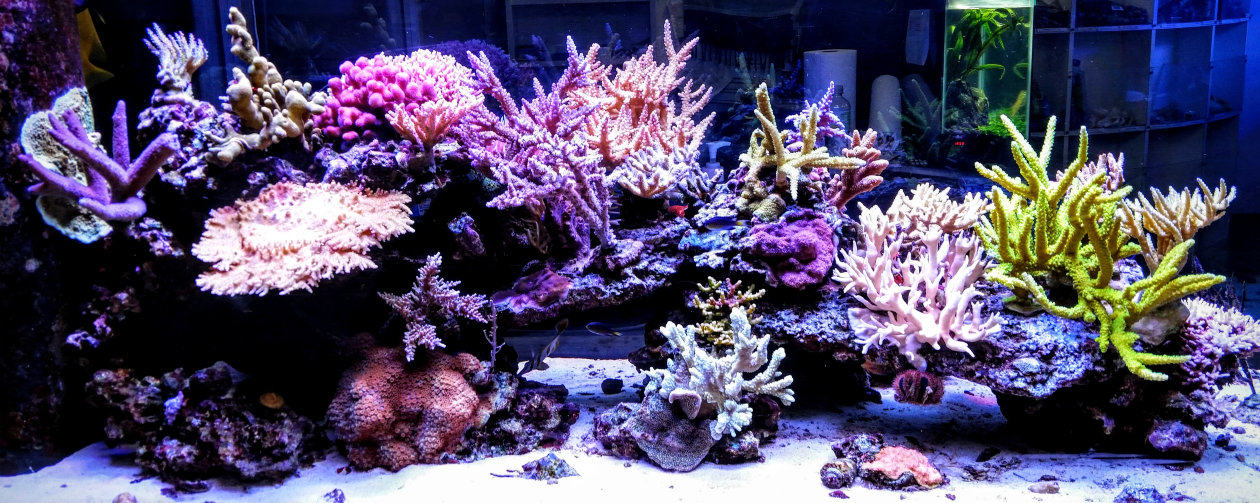 OSRAM LEDs provide lighting environment for corals to thrive